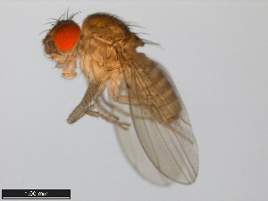 (Drosophila arizonae - 15081-1271.32)  @15 [ ] CreativeCommons - Attribution Non-Commercial Share-Alike (2011) ANIC/BIO Photography Group ANIC/Biodiversity Institute of Ontario