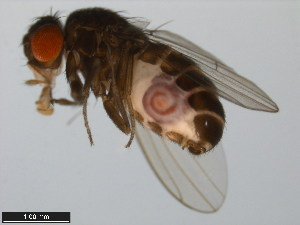 (Drosophila borborema - 15081-1281.04)  @14 [ ] CreativeCommons - Attribution Non-Commercial Share-Alike (2011) ANIC/BIO Photography Group ANIC/Biodiversity Institute of Ontario
