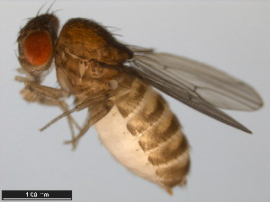 (Drosophila buzzatii - 15081-1291.02)  @15 [ ] CreativeCommons - Attribution Non-Commercial Share-Alike (2011) ANIC/BIO Photography Group ANIC/Biodiversity Institute of Ontario