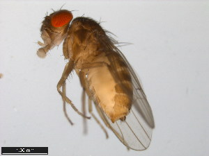 (Drosophila hamatofila - 15081-1301.08)  @14 [ ] CreativeCommons - Attribution Non-Commercial Share-Alike (2011) ANIC/BIO Photography Group ANIC/Biodiversity Institute of Ontario