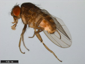 (Drosophila hexastigma - 15081-1302.04)  @15 [ ] CreativeCommons - Attribution Non-Commercial Share-Alike (2011) ANIC/BIO Photography Group ANIC/Biodiversity Institute of Ontario
