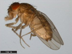 (Drosophila koepferae - 15081-1305.01)  @11 [ ] CreativeCommons - Attribution Non-Commercial Share-Alike (2011) ANIC/BIO Photography Group ANIC/Biodiversity Institute of Ontario