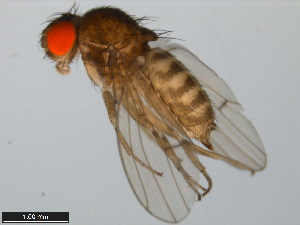 (Drosophila longicornis - 15081-1311.13)  @15 [ ] CreativeCommons - Attribution Non-Commercial Share-Alike (2011) ANIC/BIO Photography Group ANIC/Biodiversity Institute of Ontario