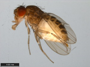 (Drosophila sonorae - 15081-1312.00)  @11 [ ] CreativeCommons - Attribution Non-Commercial Share-Alike (2011) ANIC/BIO Photography Group ANIC/Biodiversity Institute of Ontario