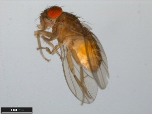 (Drosophila mainlandi - 15081-1315.00)  @13 [ ] CreativeCommons - Attribution Non-Commercial Share-Alike (2011) ANIC/BIO Photography Group ANIC/Biodiversity Institute of Ontario