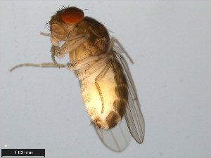 (Drosophila mainlandi - 15081-1315.01)  @13 [ ] CreativeCommons - Attribution Non-Commercial Share-Alike (2011) ANIC/BIO Photography Group ANIC/Biodiversity Institute of Ontario