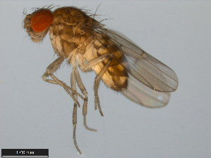 (Drosophila meridiana - 15081-1341.07)  @15 [ ] CreativeCommons - Attribution Non-Commercial Share-Alike (2011) ANIC/BIO Photography Group ANIC/Biodiversity Institute of Ontario