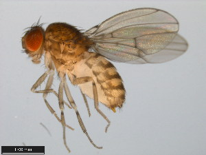 (Drosophila meridionalis - 15081-1344.00)  @14 [ ] CreativeCommons - Attribution Non-Commercial Share-Alike (2011) ANIC/BIO Photography Group ANIC/Biodiversity Institute of Ontario