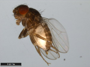 (Drosophila micromettleri - 15081-1346.02)  @13 [ ] CreativeCommons - Attribution Non-Commercial Share-Alike (2011) ANIC/BIO Photography Group ANIC/Biodiversity Institute of Ontario