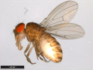 (Drosophila mojavensis - 15081-1352.29)  @14 [ ] CreativeCommons - Attribution Non-Commercial Share-Alike (2011) ANIC/BIO Photography Group ANIC/Biodiversity Institute of Ontario