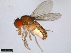 (Drosophila mulleri - 15081-1371.30)  @15 [ ] CreativeCommons - Attribution Non-Commercial Share-Alike (2011) ANIC/BIO Photography Group ANIC/Biodiversity Institute of Ontario