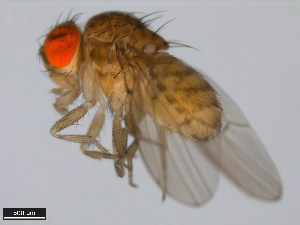 (Drosophila navojoa - 15081-1374.12)  @14 [ ] CreativeCommons - Attribution Non-Commercial Share-Alike (2011) ANIC/BIO Photography Group ANIC/Biodiversity Institute of Ontario