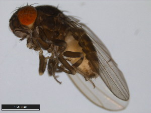 (Drosophila nigricruria - 15081-1381.03)  @14 [ ] CreativeCommons - Attribution Non-Commercial Share-Alike (2011) ANIC/BIO Photography Group ANIC/Biodiversity Institute of Ontario