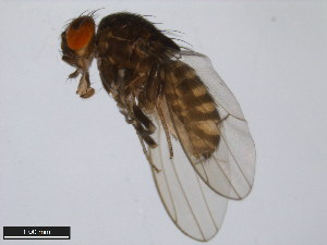 (Drosophila pachuca - 15081-1391.02)  @13 [ ] CreativeCommons - Attribution Non-Commercial Share-Alike (2011) ANIC/BIO Photography Group ANIC/Biodiversity Institute of Ontario