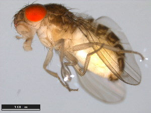 (Drosophila parisiena - 15081-1392.00)  @13 [ ] CreativeCommons - Attribution Non-Commercial Share-Alike (2011) ANIC/BIO Photography Group ANIC/Biodiversity Institute of Ontario