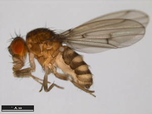 (Drosophila leonis - 15081-1395.01)  @15 [ ] CreativeCommons - Attribution Non-Commercial Share-Alike (2011) ANIC/BIO Photography Group ANIC/Biodiversity Institute of Ontario