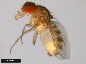 (Drosophila mayaguana - 15081-1397.01)  @15 [ ] CreativeCommons - Attribution Non-Commercial Share-Alike (2011) ANIC/BIO Photography Group ANIC/Biodiversity Institute of Ontario