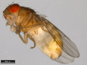(Drosophila pegasa - 15081-1398.11)  @13 [ ] CreativeCommons - Attribution Non-Commercial Share-Alike (2011) ANIC/BIO Photography Group ANIC/Biodiversity Institute of Ontario