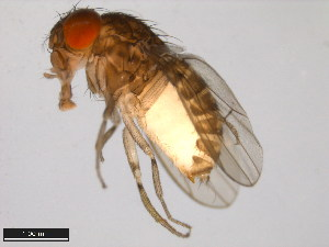 (Drosophila peninsularis - 15081-1401.12)  @15 [ ] CreativeCommons - Attribution Non-Commercial Share-Alike (2011) ANIC/BIO Photography Group ANIC/Biodiversity Institute of Ontario