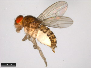 (Drosophila richardsoni - 15081-1421.02)  @13 [ ] CreativeCommons - Attribution Non-Commercial Share-Alike (2011) ANIC/BIO Photography Group ANIC/Biodiversity Institute of Ontario