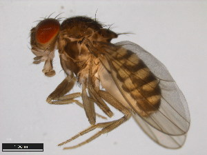 (Drosophila spenceri - 15081-1441.02)  @14 [ ] CreativeCommons - Attribution Non-Commercial Share-Alike (2011) ANIC/BIO Photography Group ANIC/Biodiversity Institute of Ontario