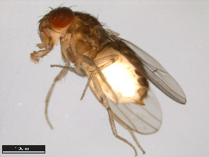 (Drosophila stalkeri - 15081-1451.10)  @13 [ ] CreativeCommons - Attribution Non-Commercial Share-Alike (2011) ANIC/BIO Photography Group ANIC/Biodiversity Institute of Ontario