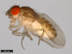 (Drosophila straubae - 15081-1462.03)  @14 [ ] CreativeCommons - Attribution Non-Commercial Share-Alike (2011) ANIC/BIO Photography Group ANIC/Biodiversity Institute of Ontario