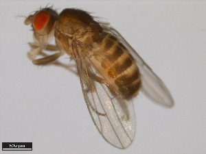 (Drosophila ritae - 15081-1471.03)  @14 [ ] CreativeCommons - Attribution Non-Commercial Share-Alike (2011) ANIC/BIO Photography Group ANIC/Biodiversity Institute of Ontario