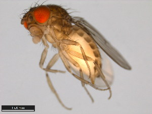 (Drosophila wheeleri - 15081-1501.01)  @15 [ ] CreativeCommons - Attribution Non-Commercial Share-Alike (2011) ANIC/BIO Photography Group ANIC/Biodiversity Institute of Ontario
