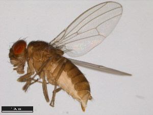 (Drosophila mettleri - 15081-1502.14)  @15 [ ] CreativeCommons - Attribution Non-Commercial Share-Alike (2011) ANIC/BIO Photography Group ANIC/Biodiversity Institute of Ontario