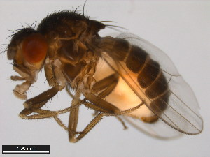 (Drosophila nigrospiracula - 15081-1503.07)  @13 [ ] CreativeCommons - Attribution Non-Commercial Share-Alike (2011) ANIC/BIO Photography Group ANIC/Biodiversity Institute of Ontario