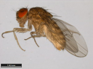 (Drosophila mercatorum - 15082-1521.39)  @15 [ ] CreativeCommons - Attribution Non-Commercial Share-Alike (2011) ANIC/BIO Photography Group ANIC/Biodiversity Institute of Ontario