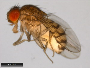 (Drosophila paranaensis - 15082-1541.00)  @15 [ ] CreativeCommons - Attribution Non-Commercial Share-Alike (2011) ANIC/BIO Photography Group ANIC/Biodiversity Institute of Ontario