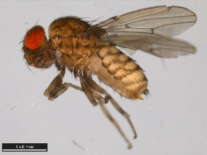 (Drosophila ellisoni - 15083-1551.00)  @11 [ ] CreativeCommons - Attribution Non-Commercial Share-Alike (2011) ANIC/BIO Photography Group ANIC/Biodiversity Institute of Ontario