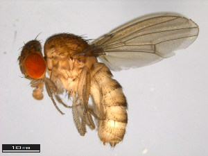 (Drosophila fulvimaculoides - 15084-1581.00)  @15 [ ] CreativeCommons - Attribution Non-Commercial Share-Alike (2011) ANIC/BIO Photography Group ANIC/Biodiversity Institute of Ontario