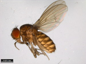 (Drosophila limensis - 15084-1591.02)  @14 [ ] CreativeCommons - Attribution Non-Commercial Share-Alike (2011) ANIC/BIO Photography Group ANIC/Biodiversity Institute of Ontario