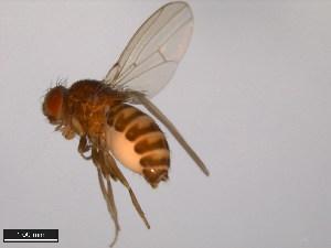 (Drosophila neorepleta - 15084-1601.08)  @15 [ ] CreativeCommons - Attribution Non-Commercial Share-Alike (2011) ANIC/BIO Photography Group ANIC/Biodiversity Institute of Ontario