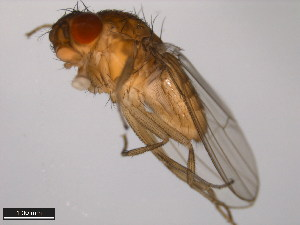 (Drosophila bifurca - 15085-1621.00)  @13 [ ] CreativeCommons - Attribution Non-Commercial Share-Alike (2011) ANIC/BIO Photography Group ANIC/Biodiversity Institute of Ontario