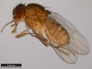 (Drosophila eohydei - 15085-1631.03)  @12 [ ] CreativeCommons - Attribution Non-Commercial Share-Alike (2011) ANIC/BIO Photography Group ANIC/Biodiversity Institute of Ontario