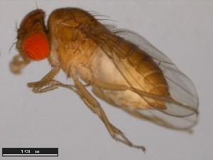 (Drosophila bromeliae - 15085-1682.00)  @11 [ ] CreativeCommons - Attribution Non-Commercial Share-Alike (2011) ANIC/BIO Photography Group ANIC/Biodiversity Institute of Ontario