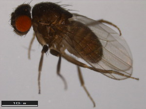 (Drosophila nannoptera - 15090-1692.12)  @14 [ ] CreativeCommons - Attribution Non-Commercial Share-Alike (2011) ANIC/BIO Photography Group ANIC/Biodiversity Institute of Ontario