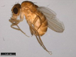 (Drosophila acanthoptera - 15090-1693.00)  @14 [ ] CreativeCommons - Attribution Non-Commercial Share-Alike (2011) ANIC/BIO Photography Group ANIC/Biodiversity Institute of Ontario