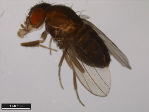(Drosophila pachea - 15090-1698.01)  @12 [ ] CreativeCommons - Attribution Non-Commercial Share-Alike (2011) ANIC/BIO Photography Group ANIC/Biodiversity Institute of Ontario