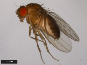 (Drosophila daruma - 15100-0120.00)  @11 [ ] CreativeCommons - Attribution Non-Commercial Share-Alike (2011) ANIC/BIO Photography Group ANIC/Biodiversity Institute of Ontario