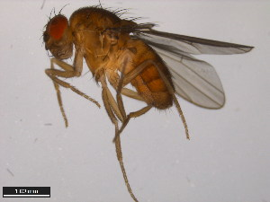 (Drosophila polychaeta - 15100-1711.06)  @15 [ ] CreativeCommons - Attribution Non-Commercial Share-Alike (2011) ANIC/BIO Photography Group ANIC/Biodiversity Institute of Ontario