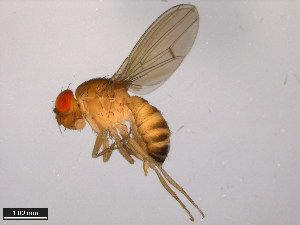 (Drosophila formosana - 15111-1721.01)  @15 [ ] CreativeCommons - Attribution Non-Commercial Share-Alike (2011) ANIC/BIO Photography Group ANIC/Biodiversity Institute of Ontario