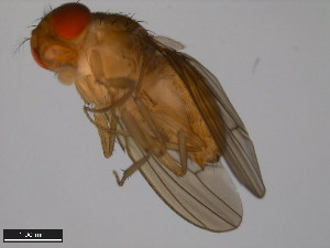 (Drosophila signata - 15111-1741.00)  @11 [ ] CreativeCommons - Attribution Non-Commercial Share-Alike (2011) ANIC/BIO Photography Group ANIC/Biodiversity Institute of Ontario