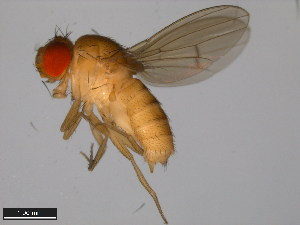 (Drosophila signata - 15111-1741.01)  @11 [ ] CreativeCommons - Attribution Non-Commercial Share-Alike (2011) ANIC/BIO Photography Group ANIC/Biodiversity Institute of Ontario