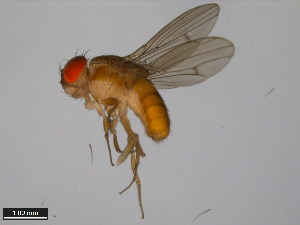 (Drosophila albomicans - 15112-1751.00)  @11 [ ] CreativeCommons - Attribution Non-Commercial Share-Alike (2011) ANIC/BIO Photography Group ANIC/Biodiversity Institute of Ontario
