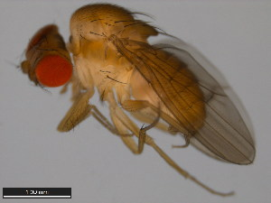(Drosophila albomicans - 15112-1751.08)  @11 [ ] CreativeCommons - Attribution Non-Commercial Share-Alike (2011) ANIC/BIO Photography Group ANIC/Biodiversity Institute of Ontario